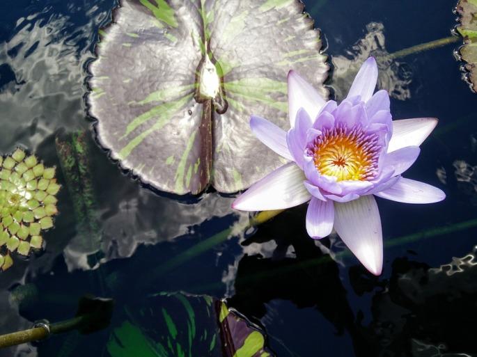 lotus-899579_960_720