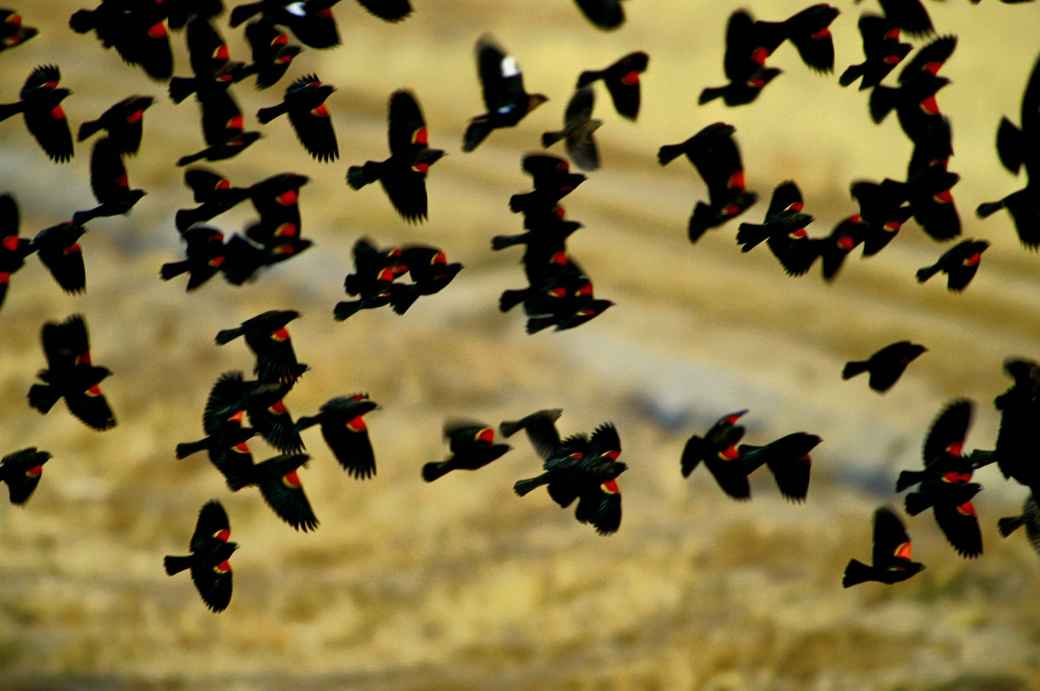 red-wing-blackbirds-flock-in-flight-agelaius-phoeniceus
