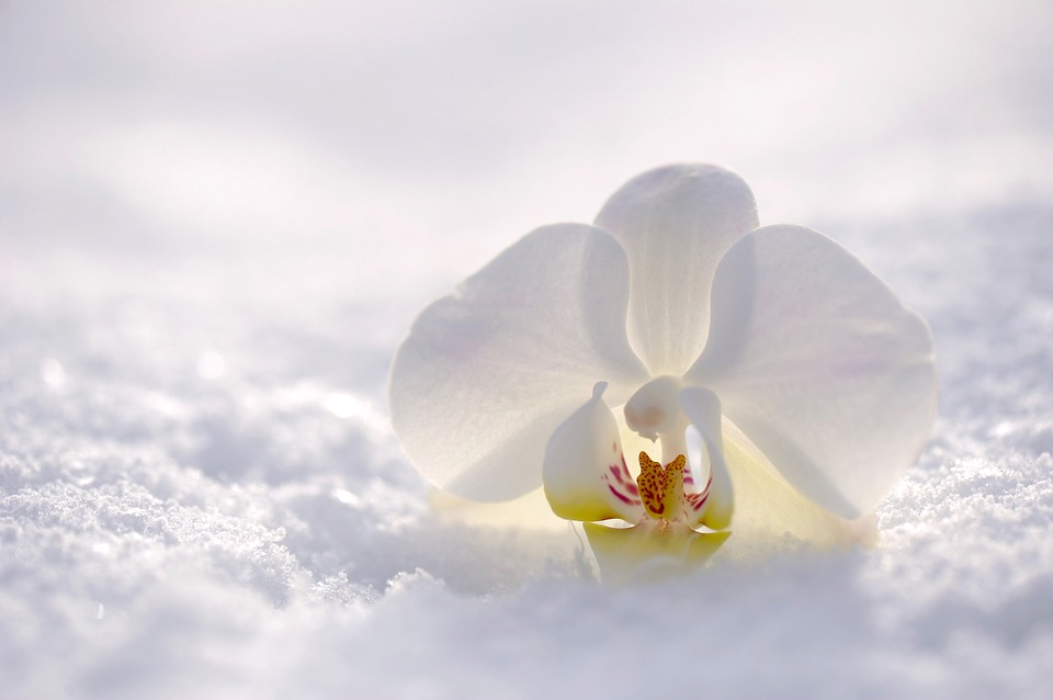 orchid-2952074_960_720