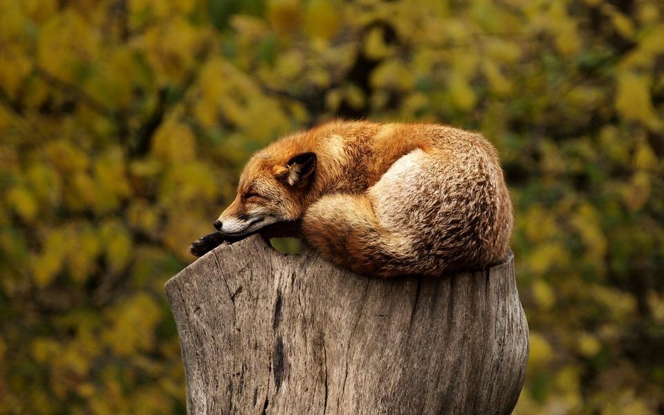 fox-1284512_960_720