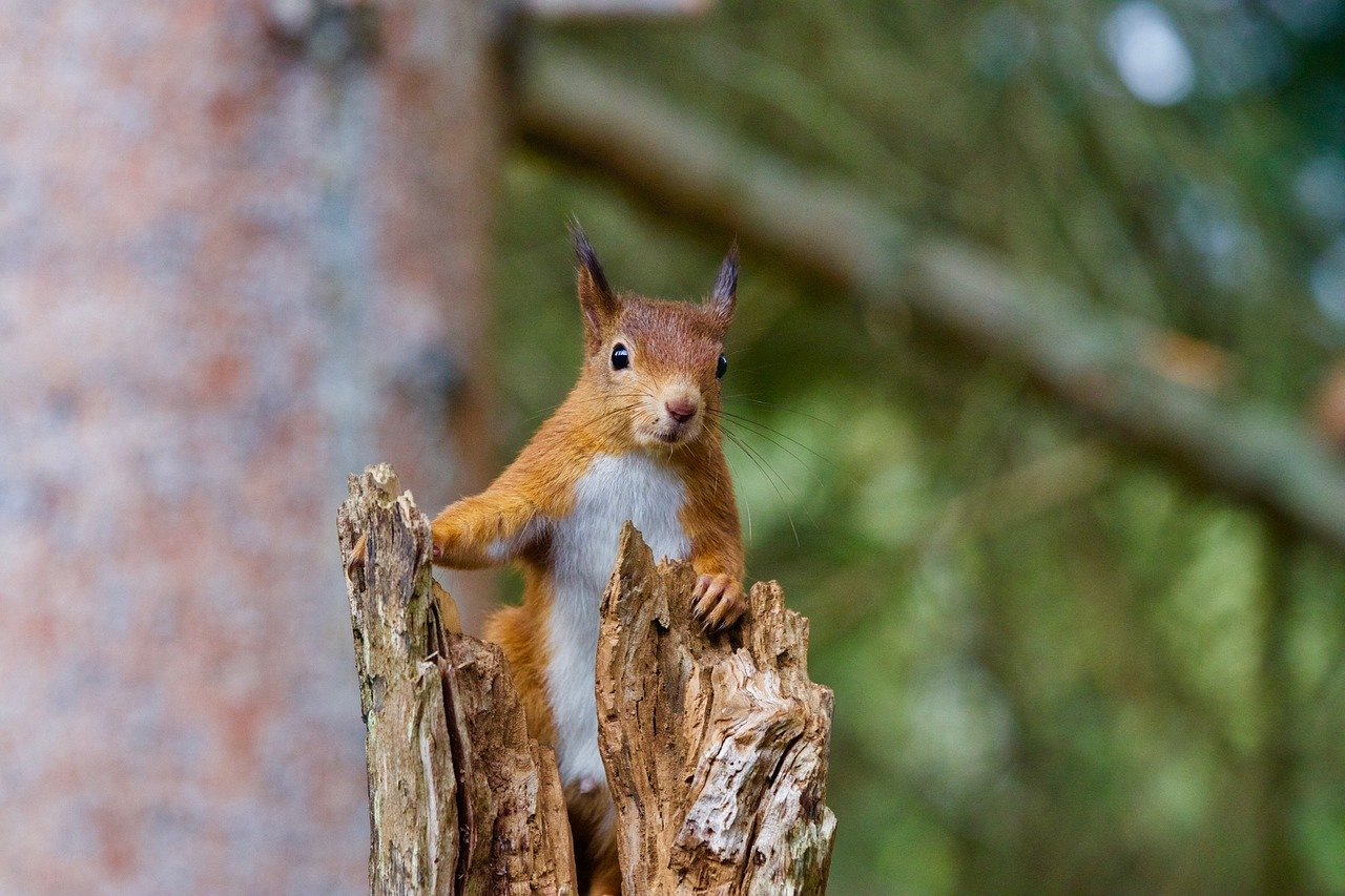squirrel-2827760_1280